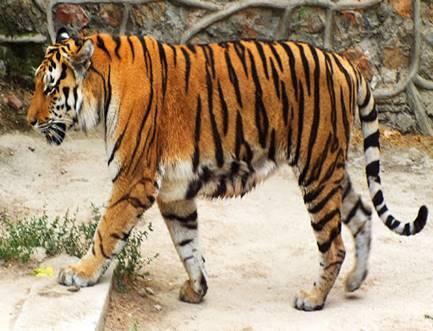 Зоопаспорт: амурский тигр | Публикации | Вокруг Света