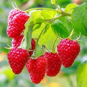 Малина Сладкая ягодка (65253): купить семена почтой в России ...