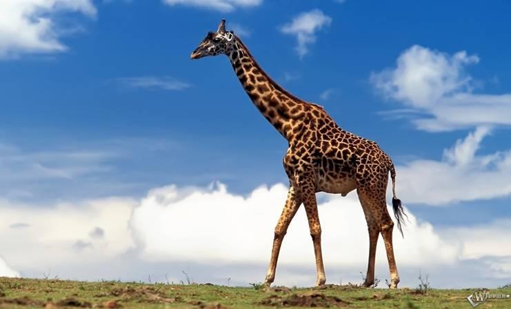 https://wpapers.ru/wallpapers/animals/Giraffes/3454/download/1280x800_%D0%96%D0%B8%D1%80%D0%B0%D1%84-%D0%B1%D0%BE%D0%BB%D1%8C%D1%88%D0%BE%D0%B9.jpg
