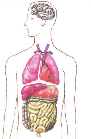 http://900igr.net/datai/biologija/Organy-organizma/0006-006-Podpishi-nazvanie-vnutrennikh-organov.png