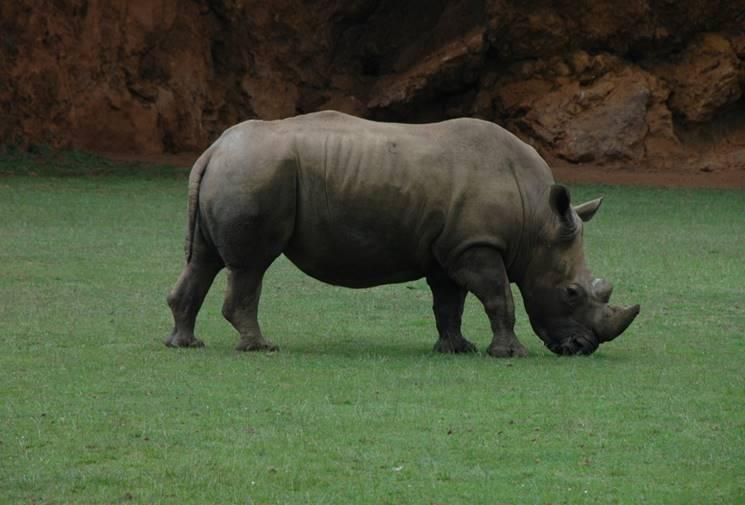 https://c.pxhere.com/photos/f7/f7/rhino_africa_horn_nature-1014312.jpg!d