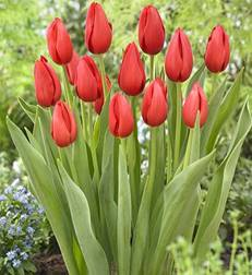 Тюльпан Kingsblood🌷 - купить луковицы и клубни в Украине недорого ...