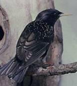 Скворец обыкновенный (Sturnus vulgaris)