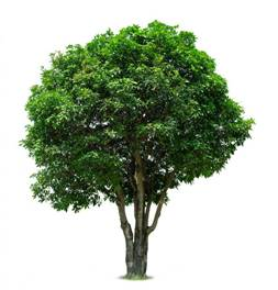 Описание: https://st.depositphotos.com/1010777/2255/i/450/depositphotos_22558327-stock-photo-mango-tree.jpg