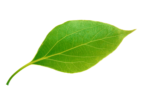 зеленый лист, зеленый лист дерева, green leaf - cкачать бесплатно ...