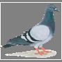 http://pngimg.com/uploads/pigeon/pigeon_PNG54599.png