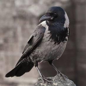 Приметы про ворон — что пророчит черный пернатый