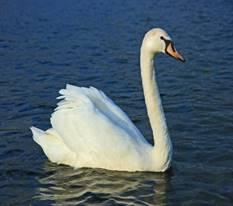 Лебедь-шипун — Википедия