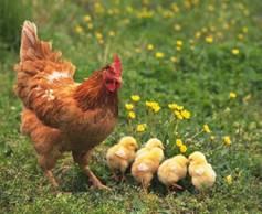 Картинки по запросу курица