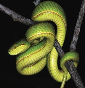 Новый вид змей назвали в честь Салазара Слизерина