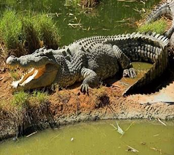 Гребнистый крокодил охотится на людей - самый опасный древний вид ...