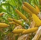 Картинки по запросу кукуруза