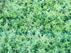 Чабрец. Лекарственные растения картинки и фото с описаниями