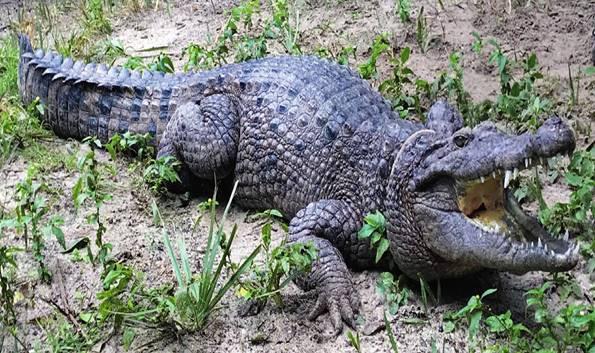 Новогвинейского крокодила разделили на два вида, 2 октября 2019 ...