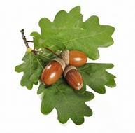 жёлудь (Quercus spp) | Ботанические рисунки, Растения, Жёлудь