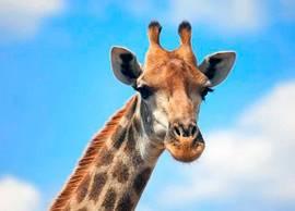Жираф - фото, описание, ареал, рацион, враги, популяция