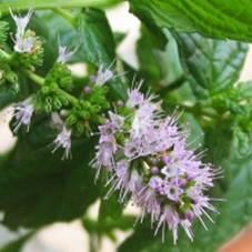 Лиловые цветочки английской мяты