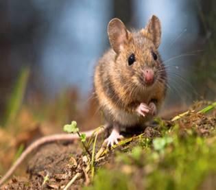 Мышь домовая (Mus musculus): интересные факты, фото, виды
