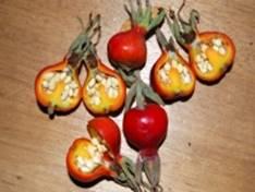 Шиповник. Лекарственные растения картинки и фото с описаниями