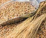 Картинки по запросу пшеничное зерно