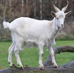 Домашняя коза, фото