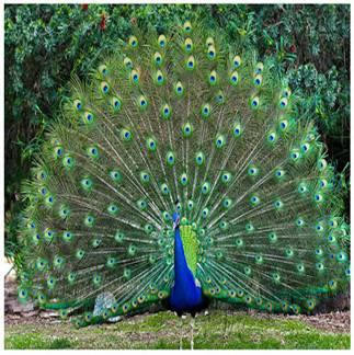 Птица павлин. Описание птицы и интересные факты
