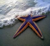 морская звезда болгария