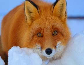 Почему лиса рыжая? — Рамблер/субботний