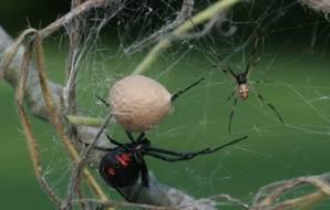 Паутина - жидкий секрет, выделяемый паутинными железами.