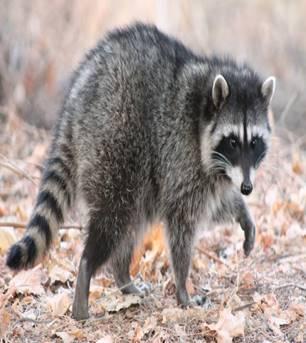 Охоту на енотов откроют в Сочи | Вестник Кавказа