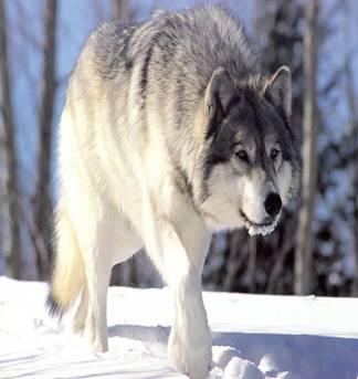 Волк — Википедия