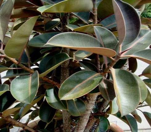Фикус упругий, каучуконосный, Резиновое дерево