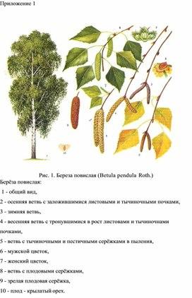 Приложение к работе Оценка качества среды д.Соловьево по флуктуирующей асимметрии листьев березы повислой.