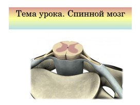 Презентация по биологии на тему Спинной мозг.