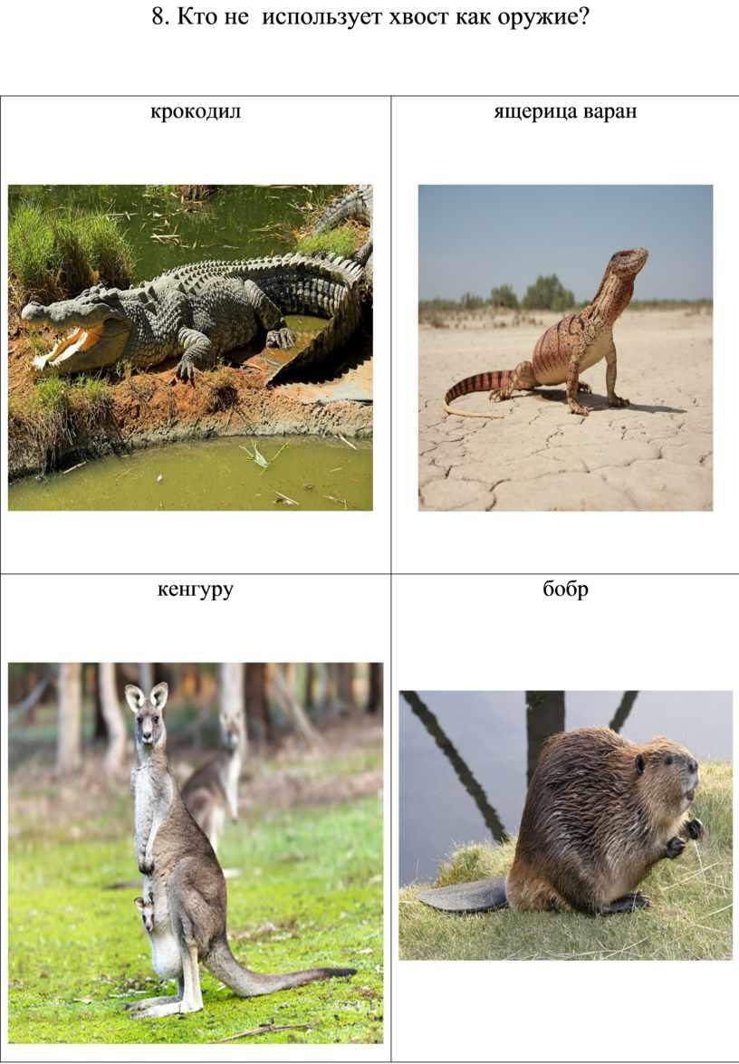 Кто не использует хвост как оружие? крокодил ящерица варан кенгуру бобр
