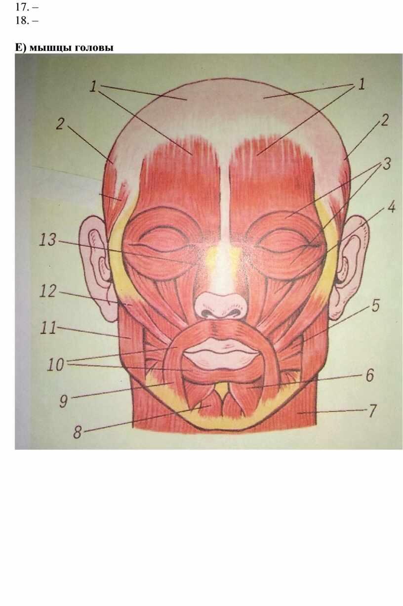 Е) мышцы головы