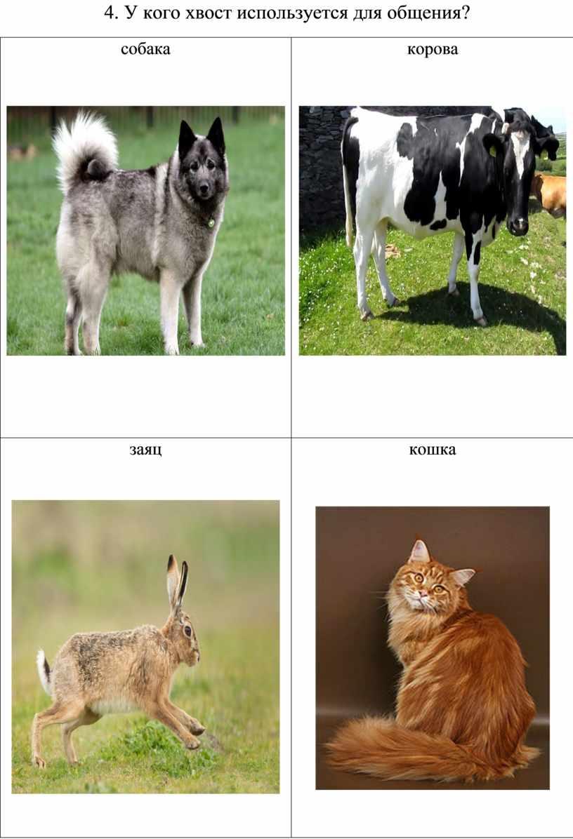 У кого хвост используется для общения? собака корова заяц кошка