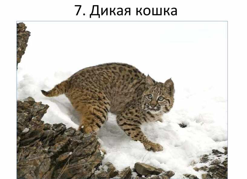 7. Дикая кошка