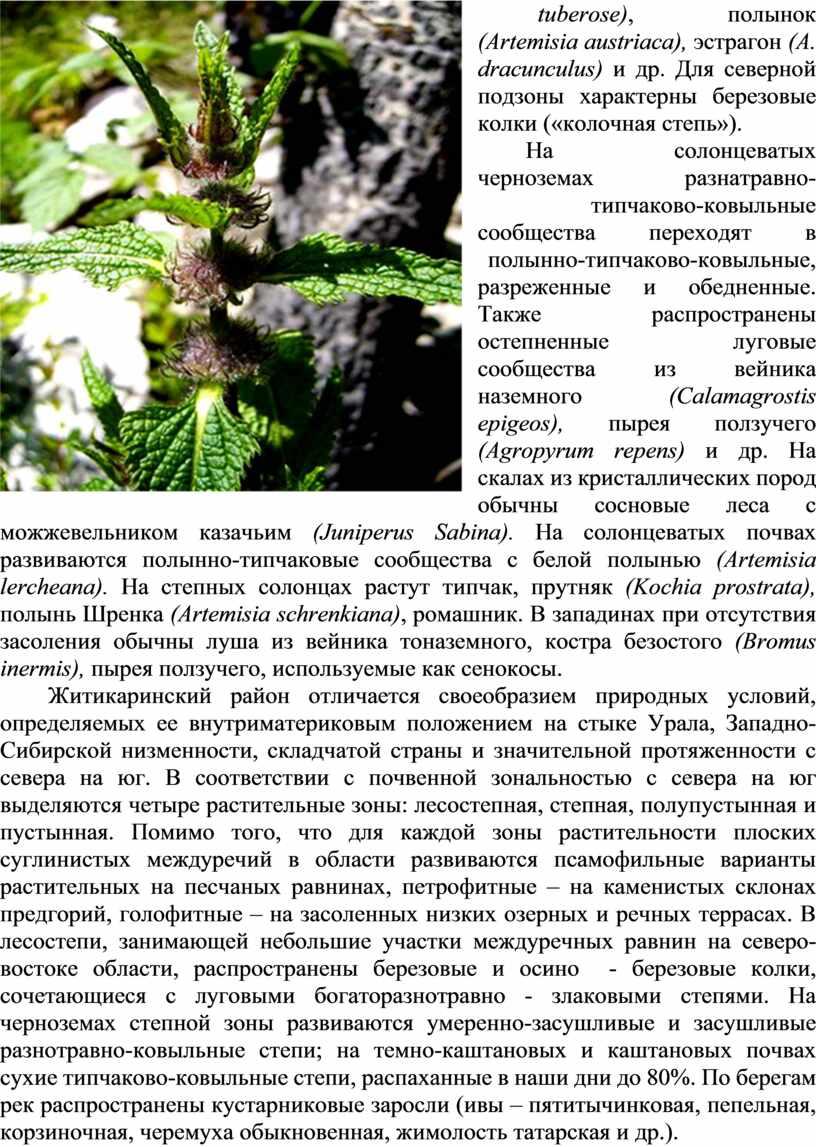 Artemisia austriaca ), эстрагон (