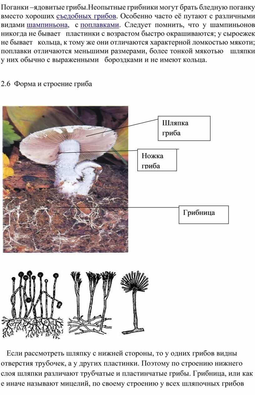Поганки –ядовитые грибы.Неопытные грибники могут брать бледную поганку вместо хороших съедобных грибов