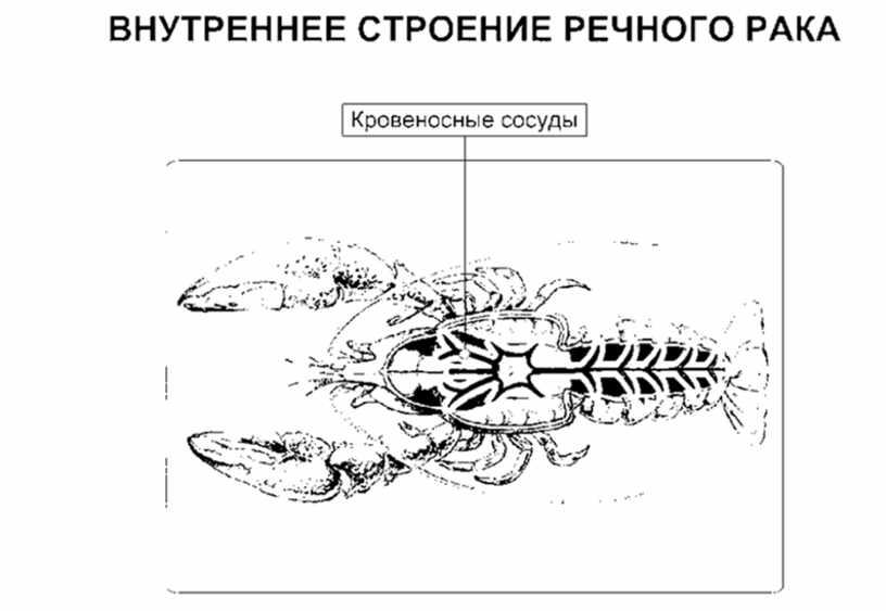 """Технологическая карта урока на тему """"Строение кровеносной системы беспозвоночных и позвоночных животных"""" (6 класс, биология)"""