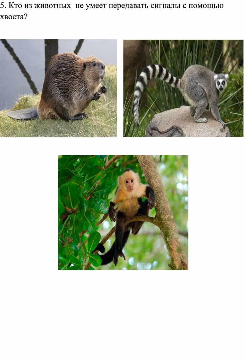 Кто из животных не умеет передавать сигналы с помощью хвоста?
