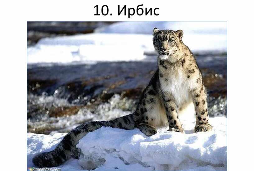 10. Ирбис