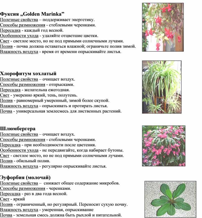 """Фуксия """"Golden Marinka"""" Полезные свойства – поддерживает энергетику"""