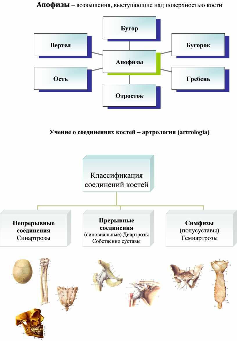Апофизы – возвышения, выступающие над поверхностью кости