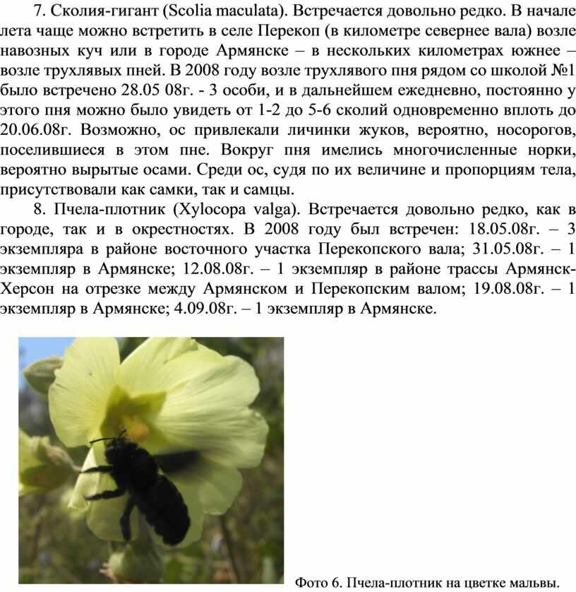 Сколия-гигант ( Scolia maculata )