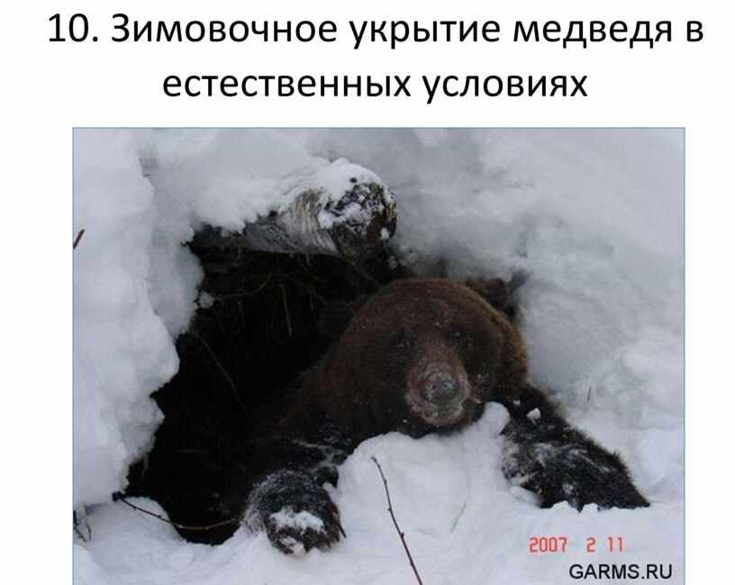 Зимовочное укрытие медведя в естественных условиях