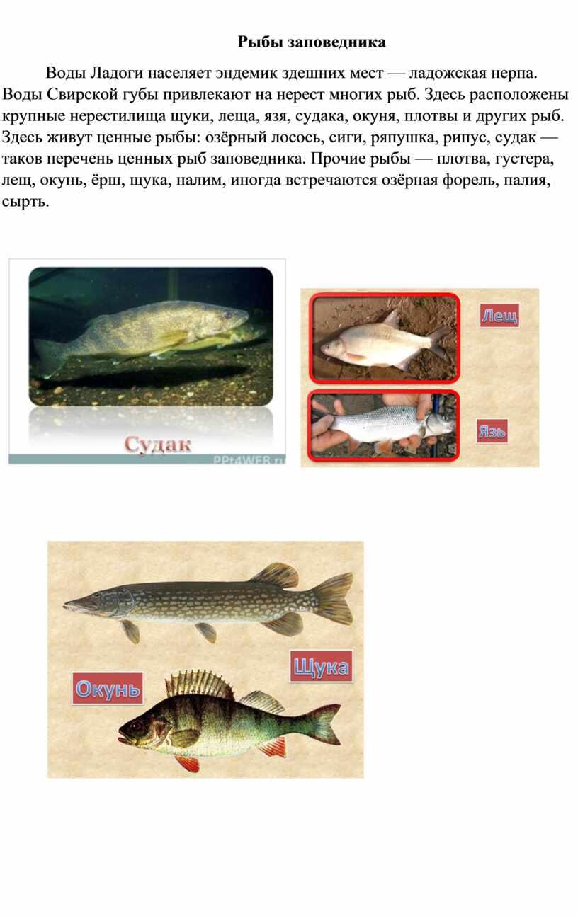 Рыбы заповедника Воды Ладоги населяет эндемик здешних мест — ладожская нерпа