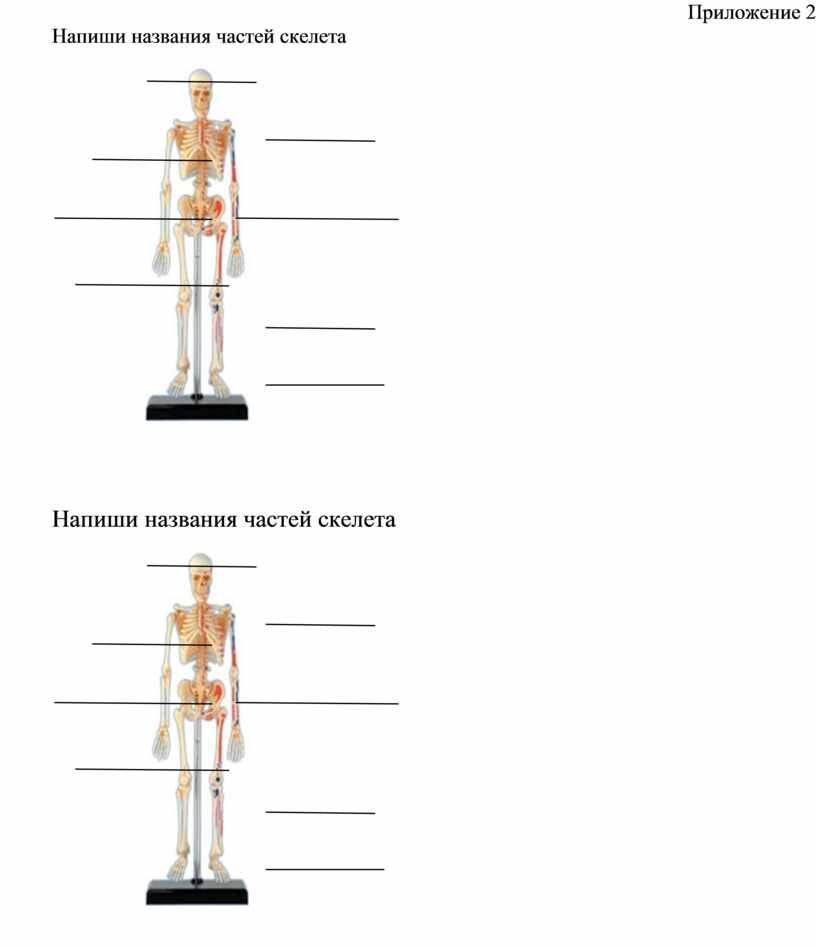 Приложение 2 Напиши названия частей скелета
