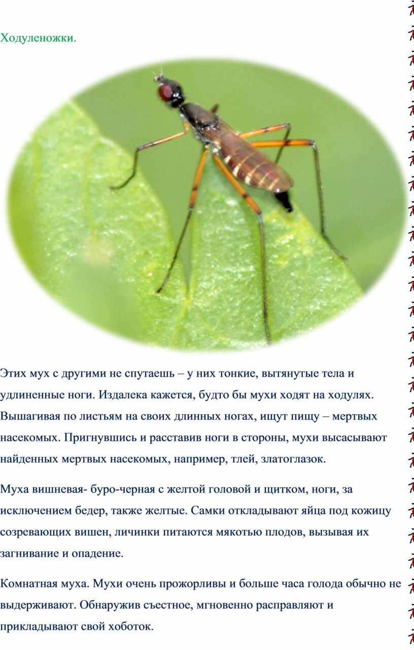 Ходуленожки. Этих мух с другими не спутаешь – у них тонкие, вытянутые тела и удлиненные ноги